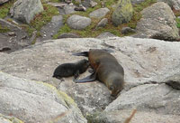 Seals at Cape Foulwind, West Coast, New Zealand
