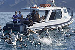 Image of ALBATROSS ENCOUNTER - Kaikoura