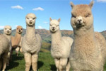 Image of ALPACA FARM TOURS - Akaroa
